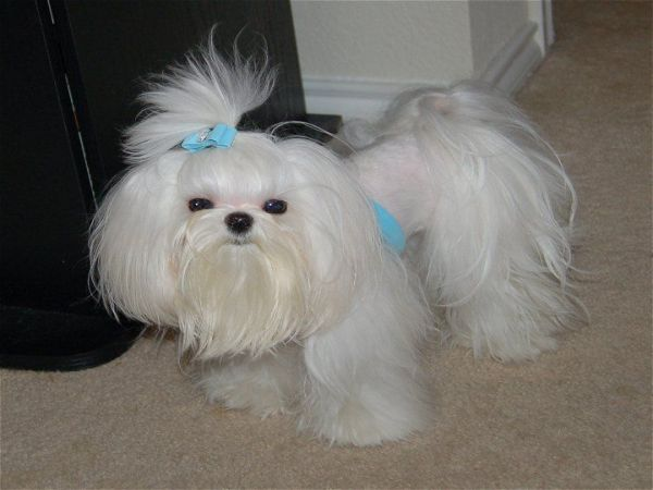 Maltese Poodle Hairstyles photo - 3