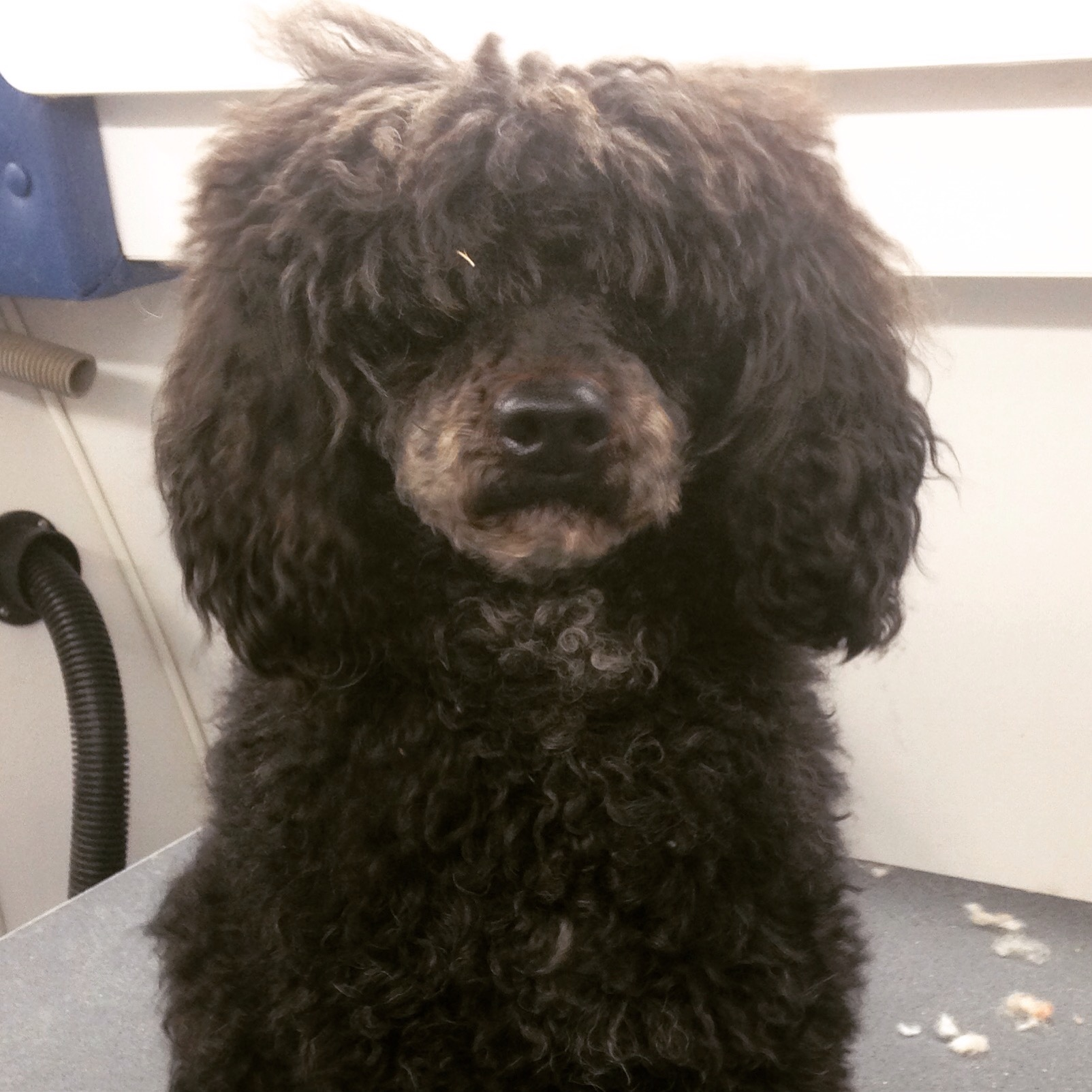 Mini Poodle Haircuts photo - 3