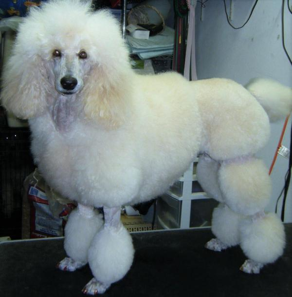 Miniature Poodle Hairstyles photo - 3