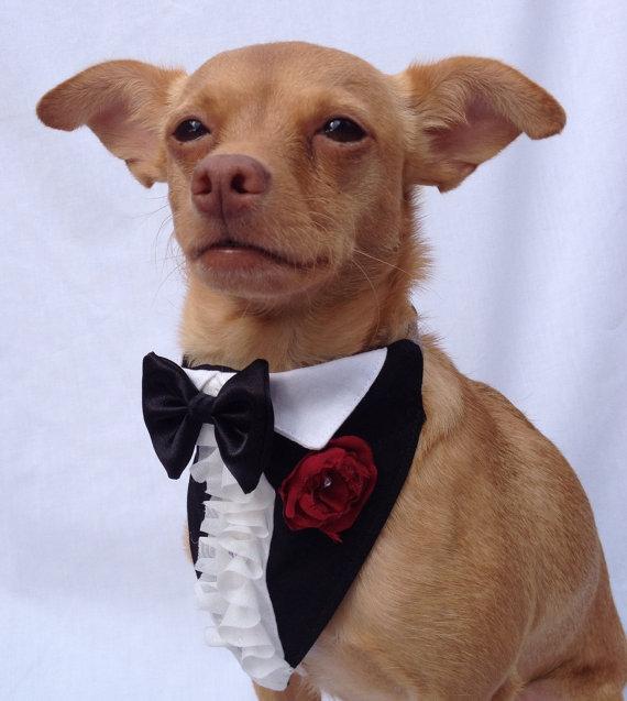 Pet Tuxedo photo - 1