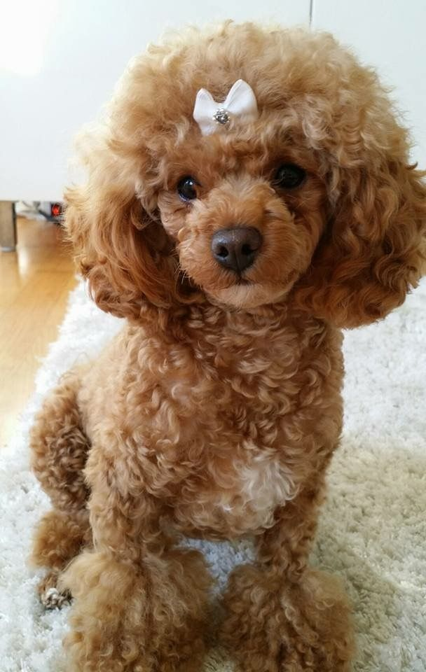 Photos Of Poodle Haircuts photo - 3