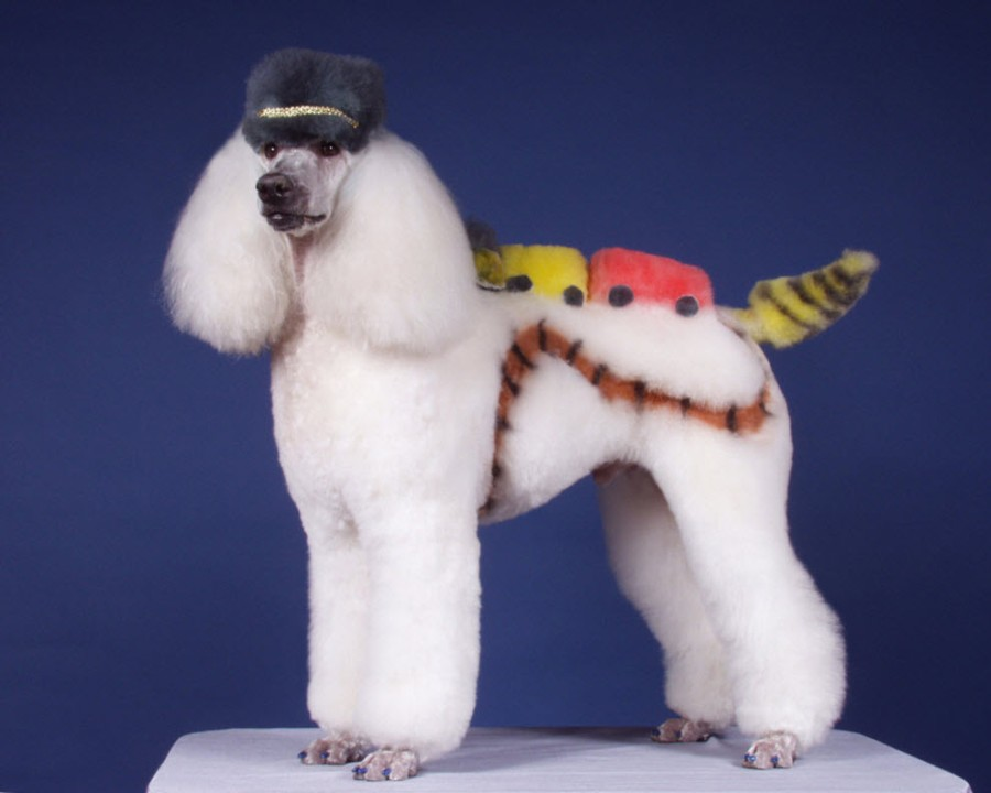 Pictures Of Poodle Haircuts photo - 1