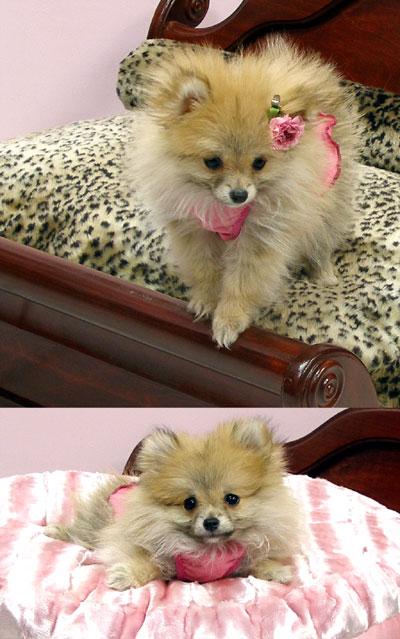 Pomeranian Clothes photo - 1