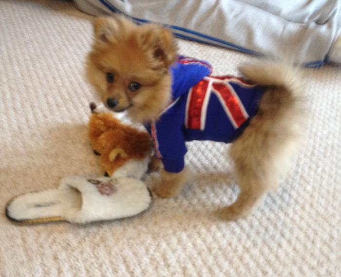 Pomeranian Clothing Dress The Dog Clothes For Your Pets