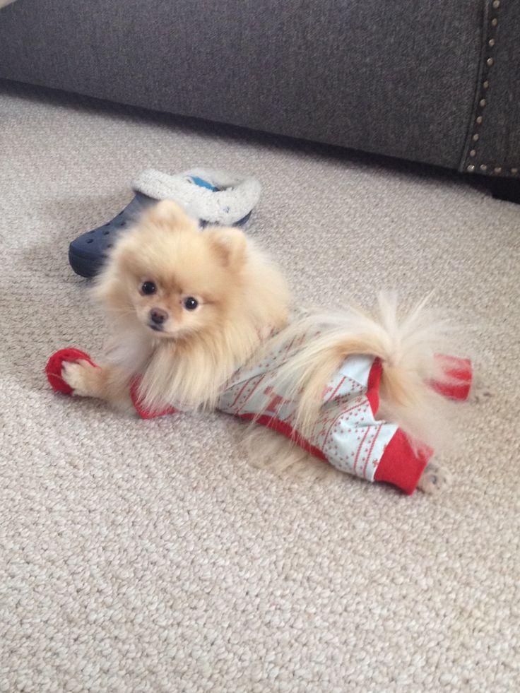 Pomeranian Puppy Clothes photo - 2