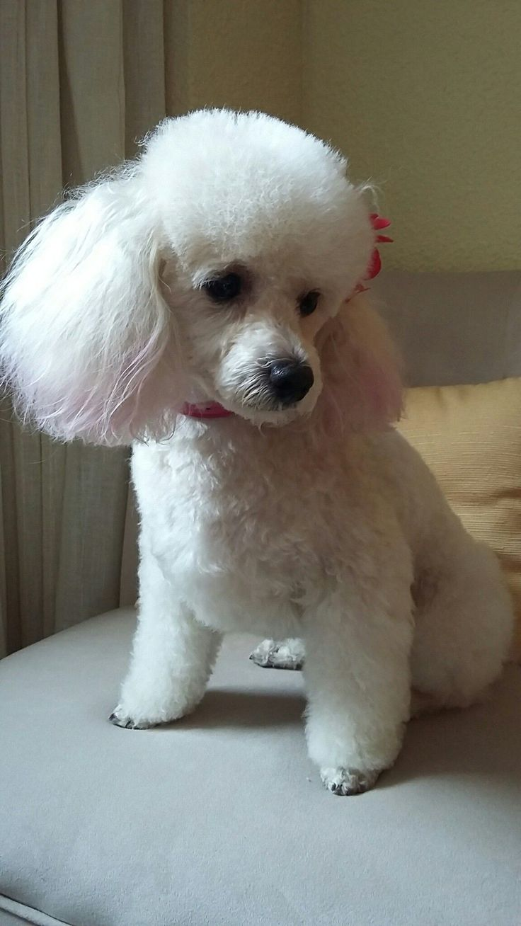 Poodle Dog Haircuts photo - 3