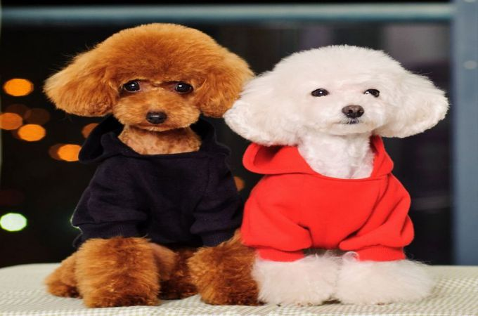 Poodle Dog Hairstyle photo - 1