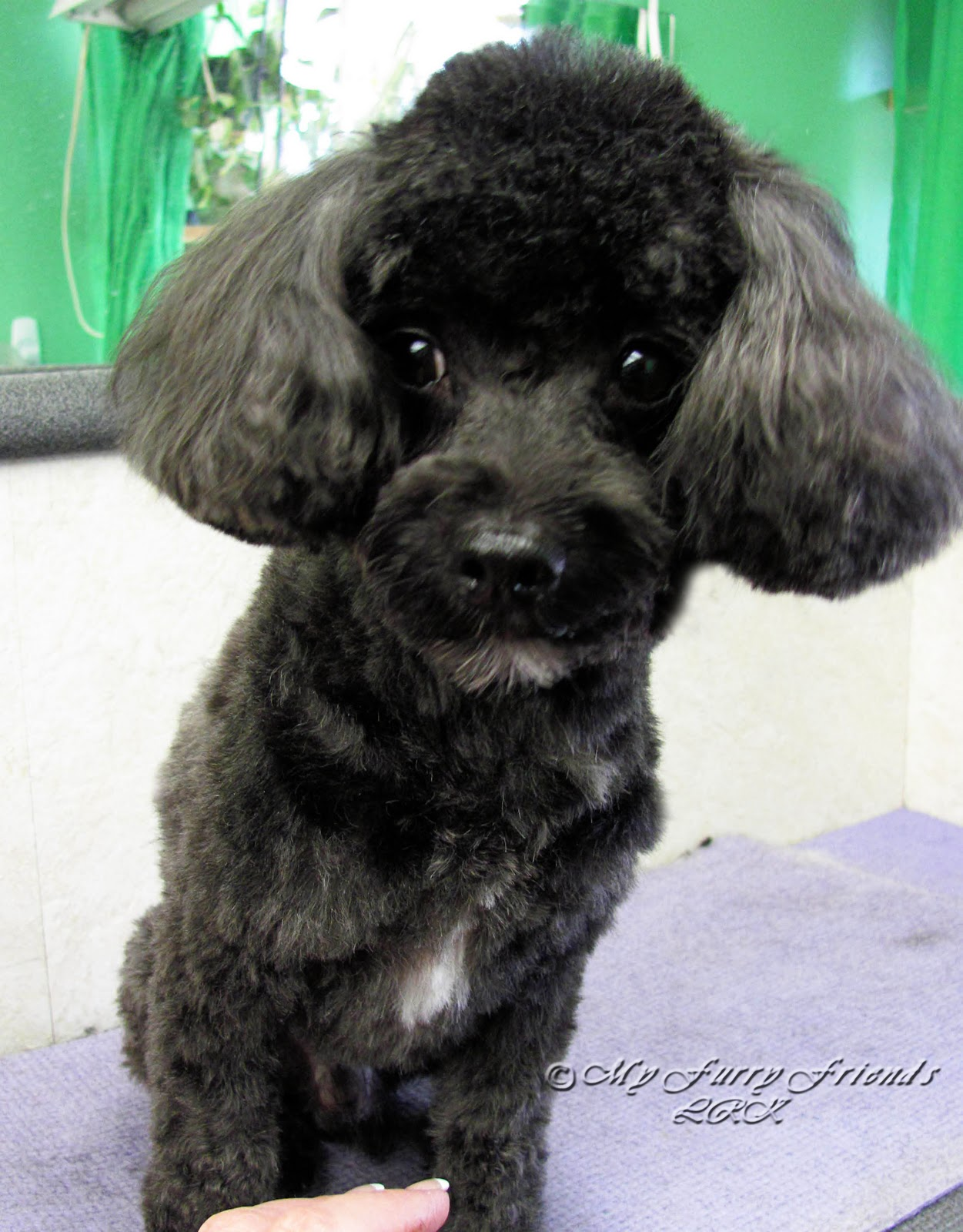 Poodle Face Haircut photo - 1