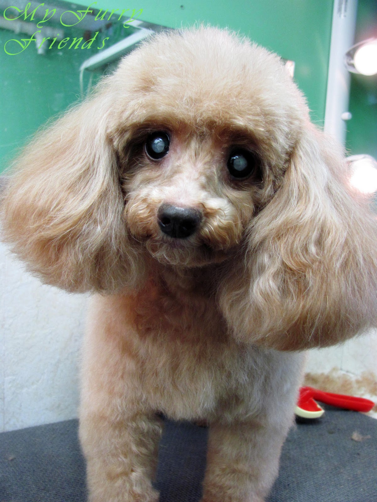 Poodle Face Haircut photo - 2