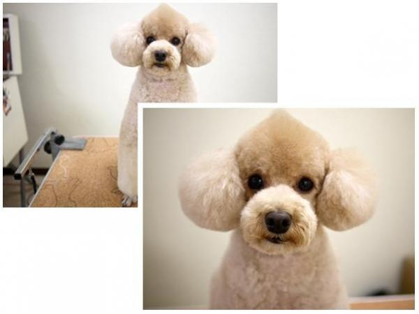 Poodle Haircuts For Summer photo - 3