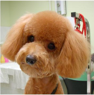 Poodle Lion Haircut photo - 2