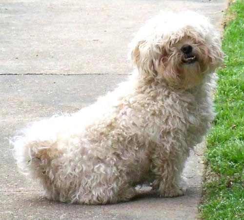 Poodle Mix Haircuts photo - 1