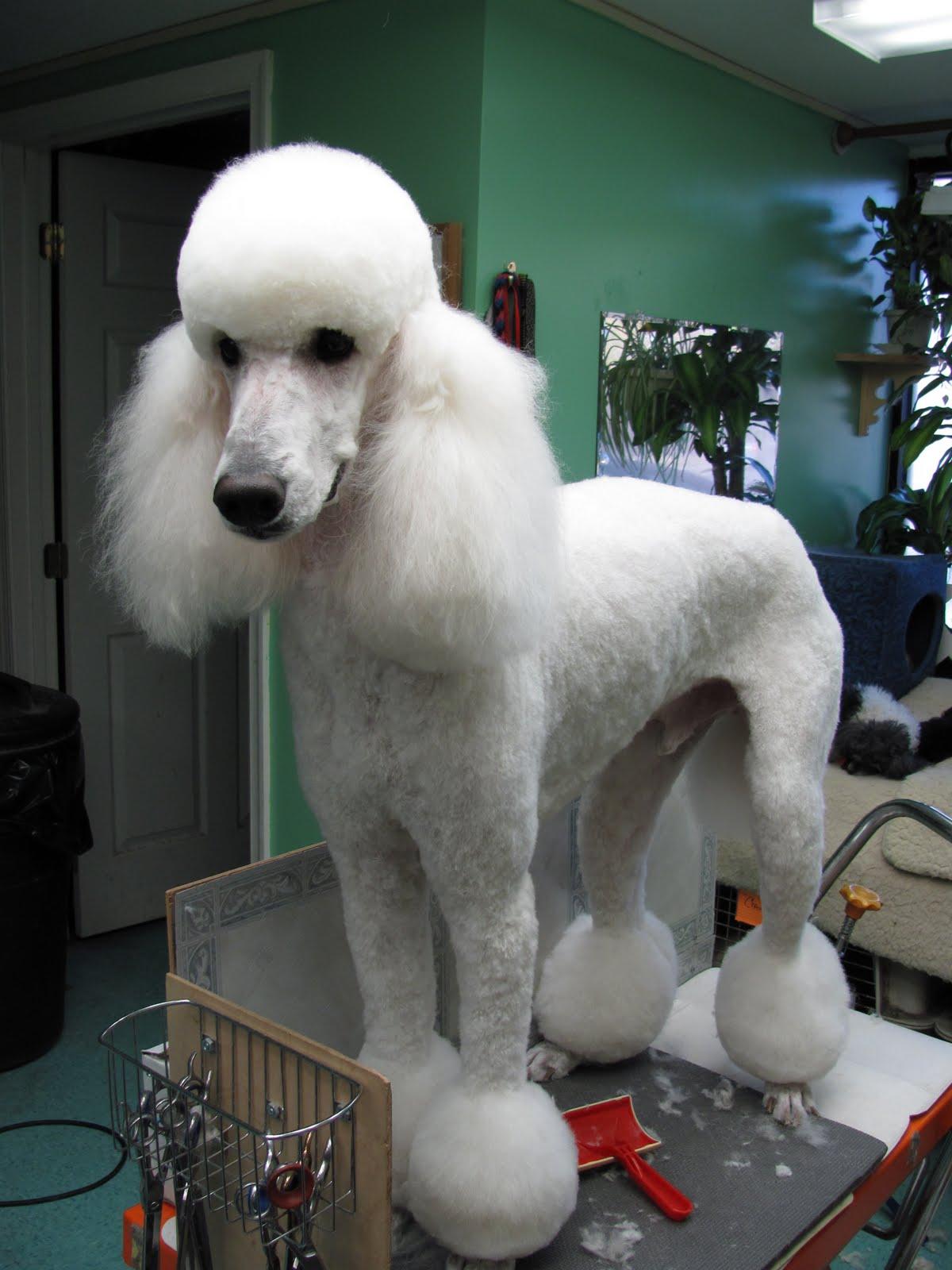 Poodle No Haircut photo - 2