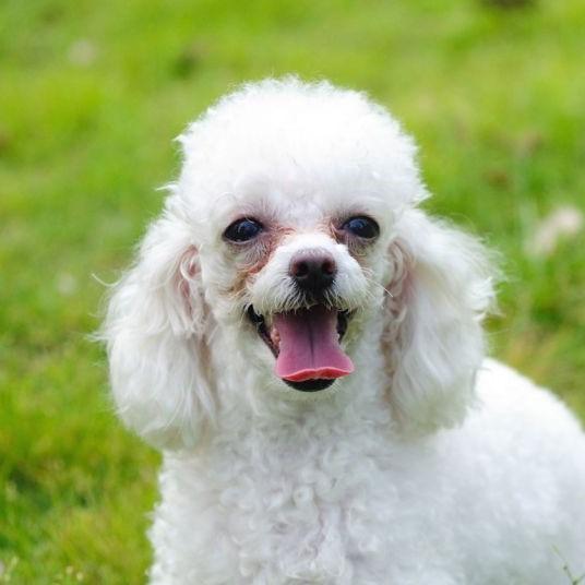 Poodle No Haircut photo - 3