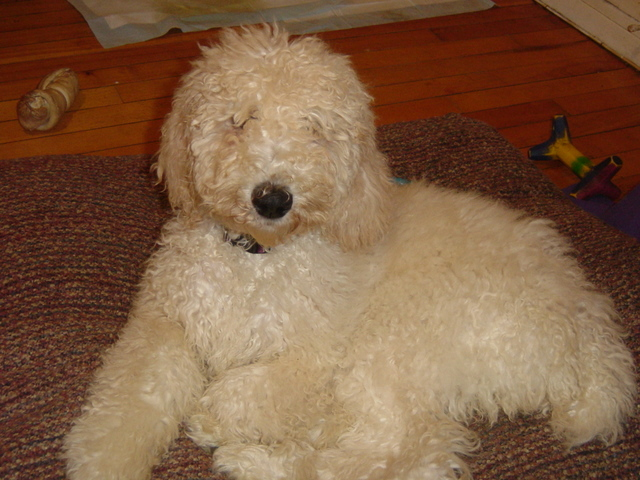 Poodle Puppy Haircuts photo - 3