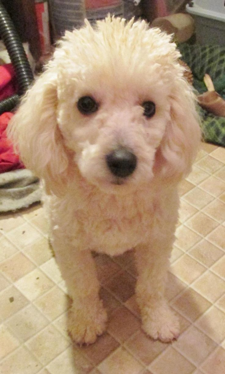 Poodle Short Haircut photo - 2