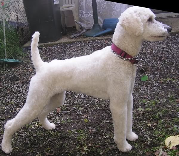 Poodle Short Haircut photo - 3