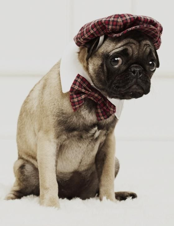 Pug In Clothes photo - 3