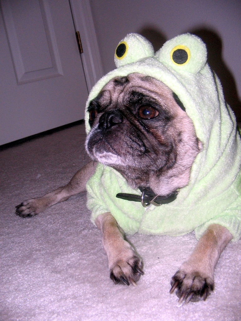 Pugs In Clothes photo - 1