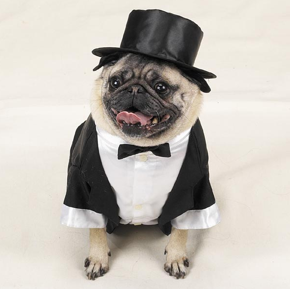 Pugs In Suits photo - 3