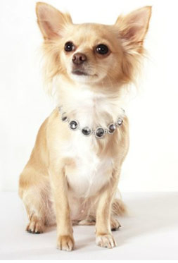 Puppy Chihuahua Clothes photo - 1
