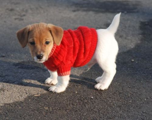 Puppy In A Sweater photo - 1