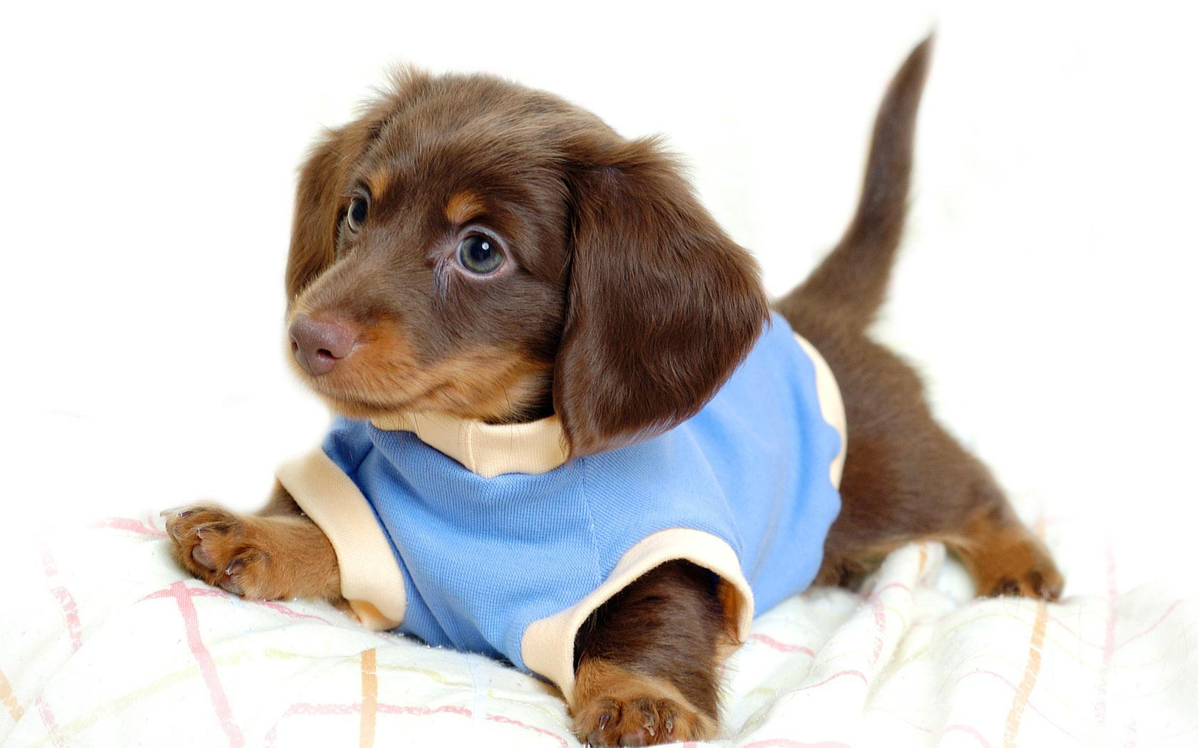 Puppy In Clothes photo - 1