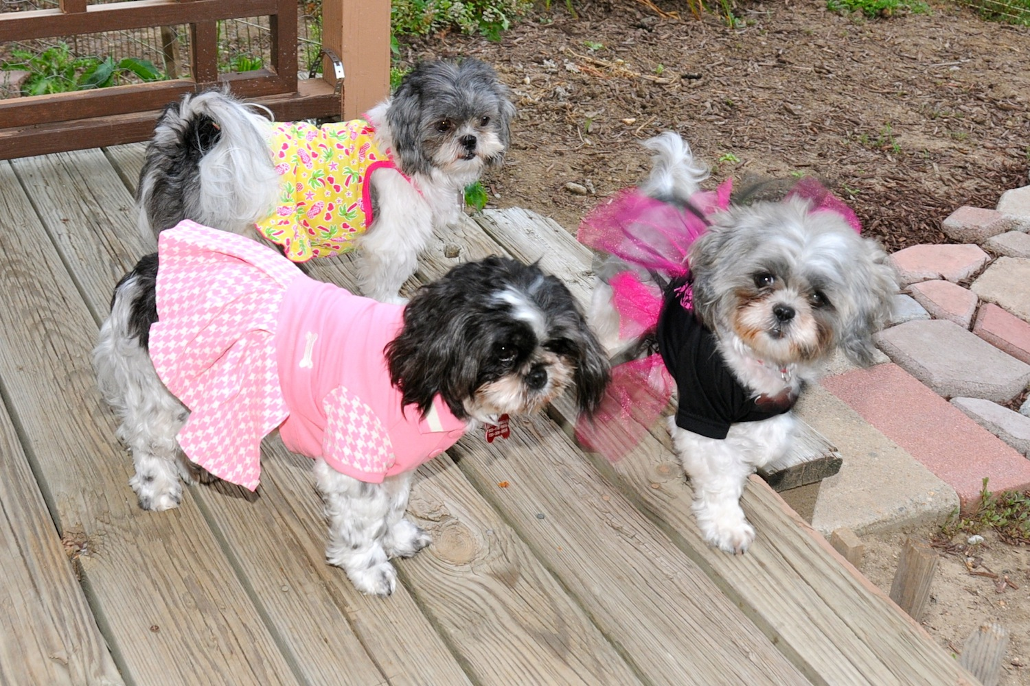 Shih Tzu Clothes photo - 1