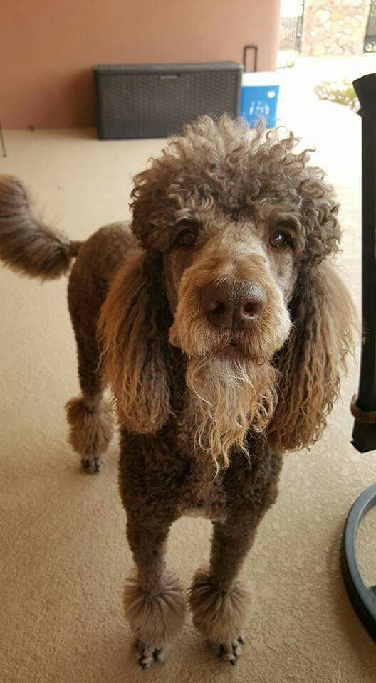 Standard Poodle Hairstyles photo - 2