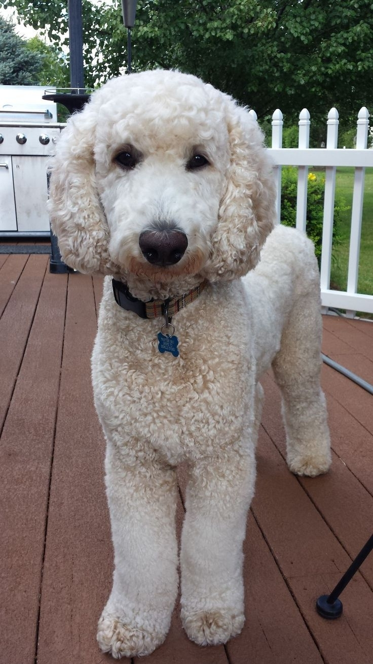 Standard Poodle Hairstyles photo - 3