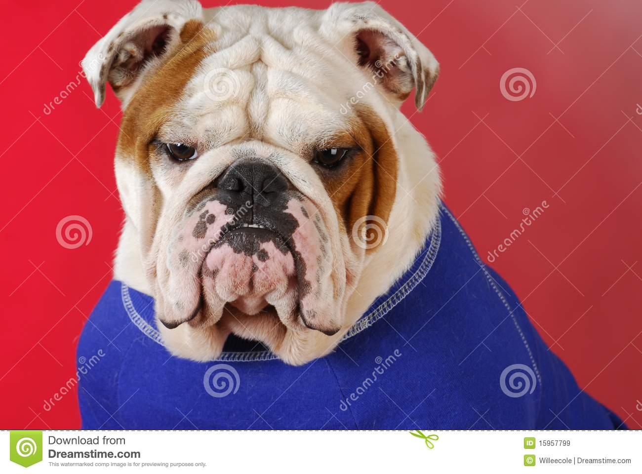 Sweaters For English Bulldogs photo - 3