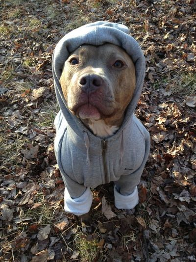 Sweaters For Pitbulls photo - 1