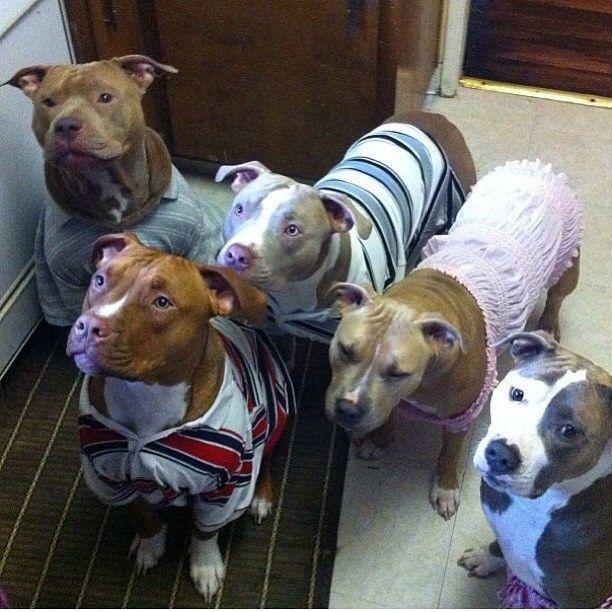 Sweaters For Pitbulls photo - 2