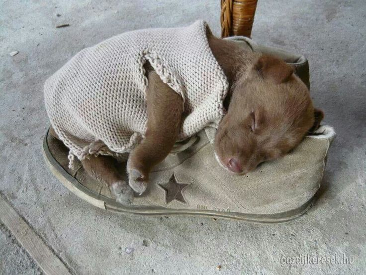 Sweaters For Pitbulls photo - 3