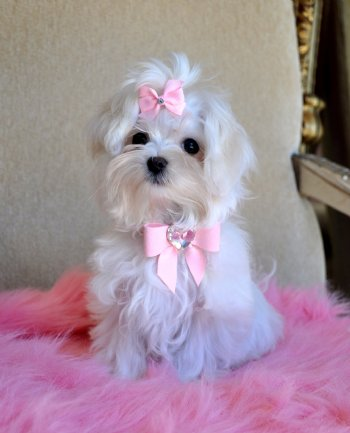 Teacup Maltese Clothes Dress The Dog Clothes For Your Pets