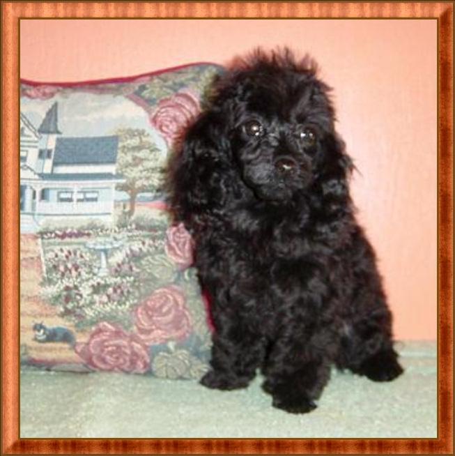 Teacup Poodle Clothes photo - 1