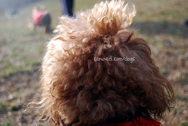 Teacup Poodle Clothes photo - 2