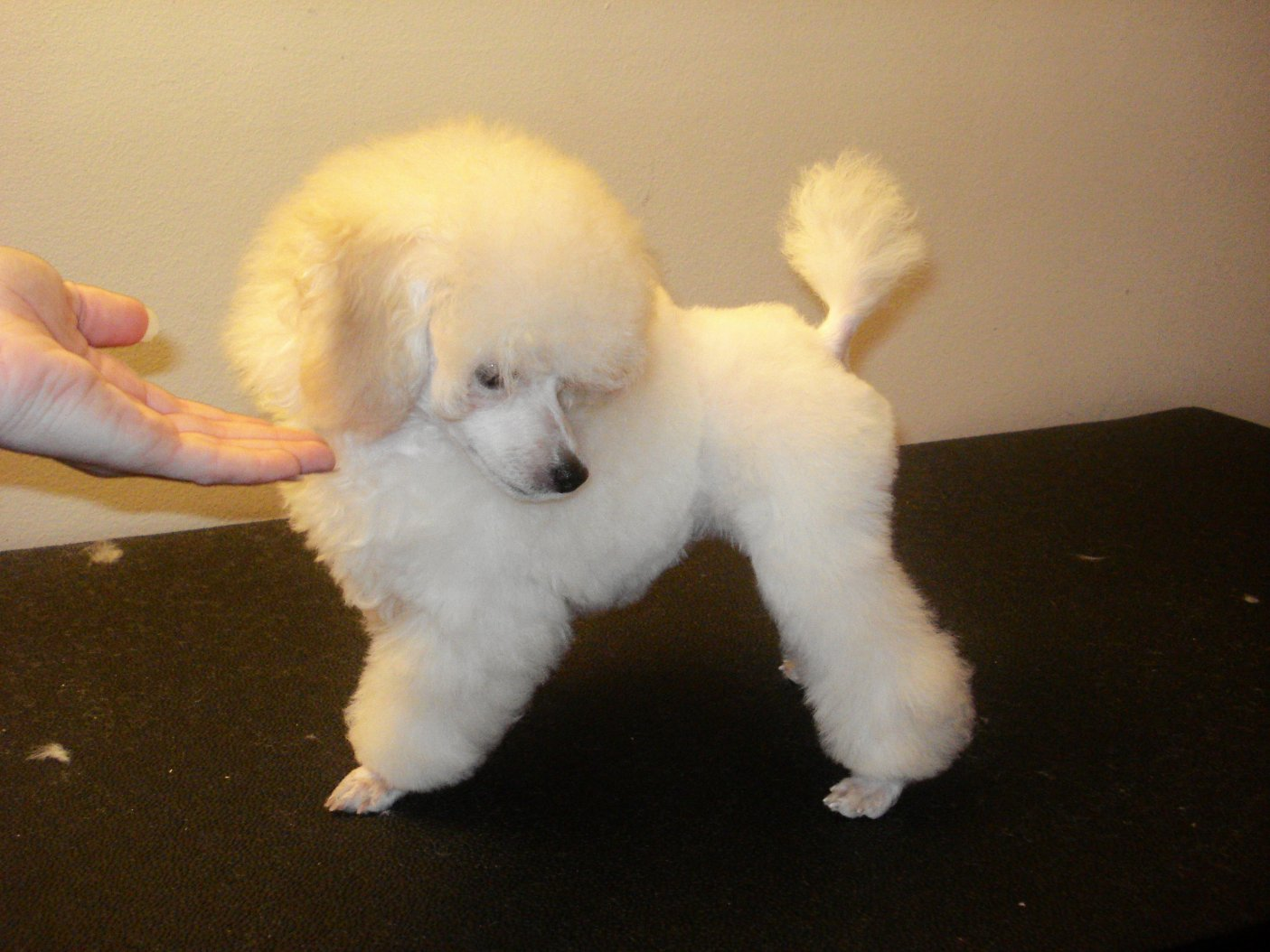 Teacup Poodle Haircuts Dress The Dog Clothes For Your Pets