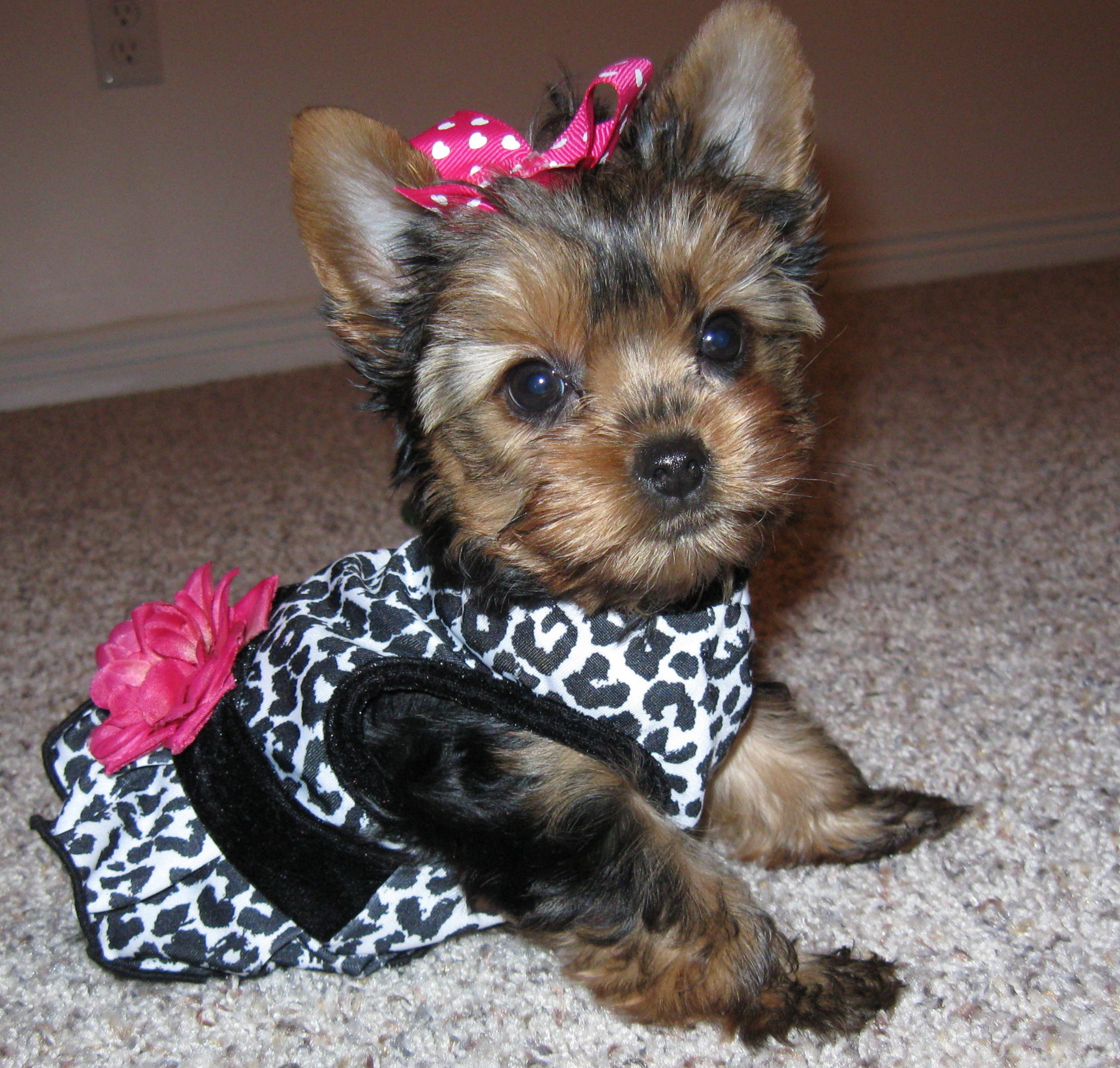 Teacup Yorkie Clothes photo - 2