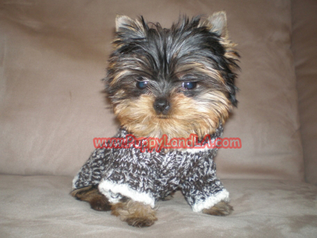 Teacup Yorkie Sweaters photo - 2