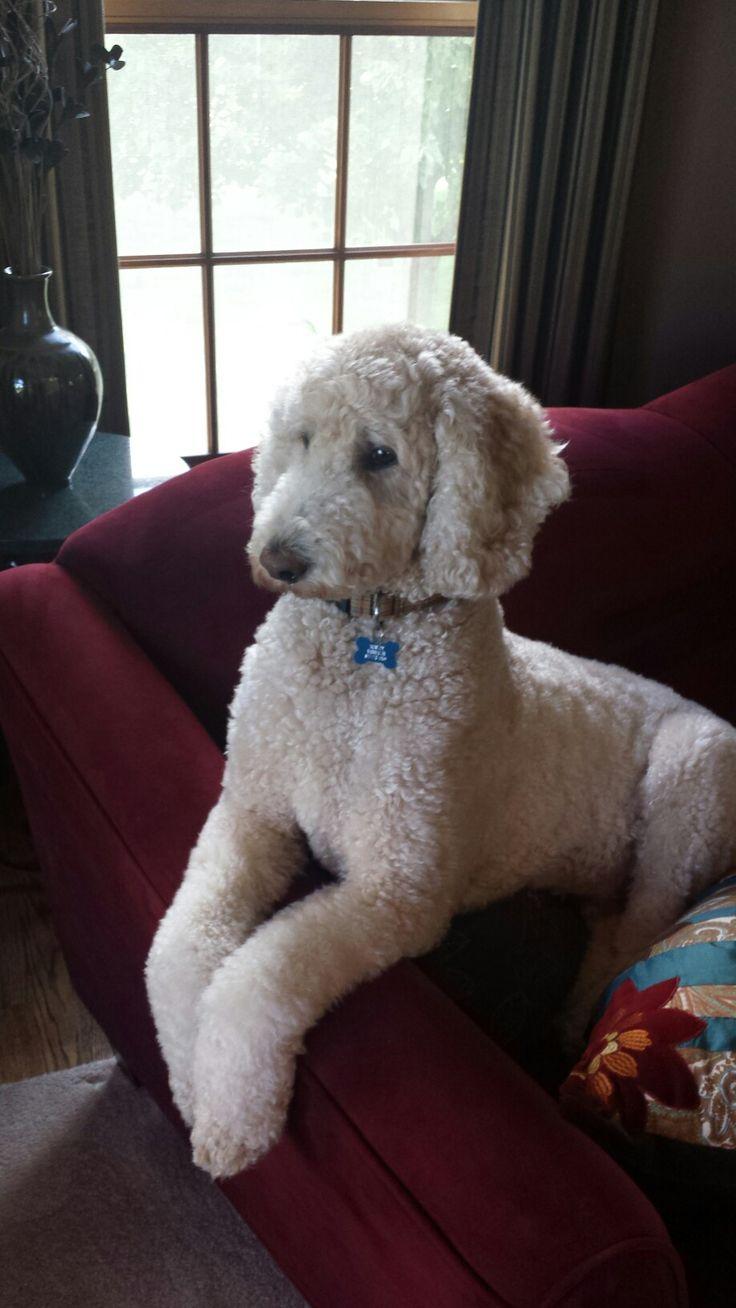 Teddy Bear Haircut Poodle photo - 2