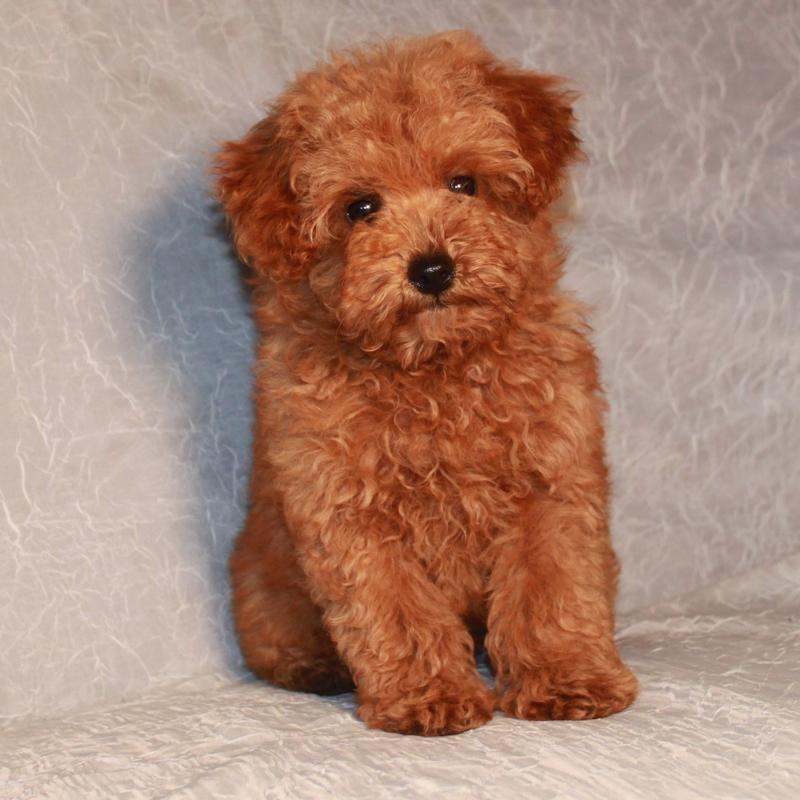 Teddy Bear Haircut Poodle photo - 3