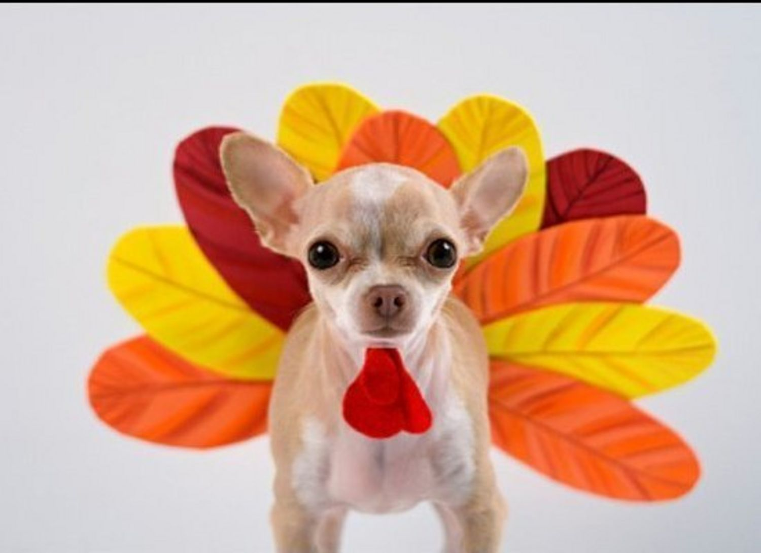 Thanksgiving Pet Costumes photo - 2