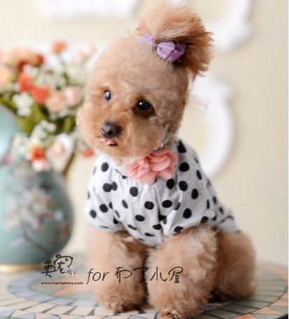 Toy Poodle Clothes photo - 1