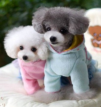 Toy Poodle Clothes photo - 3