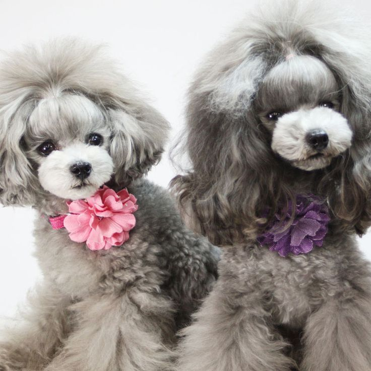 Toy Poodle Haircut Styles photo - 1