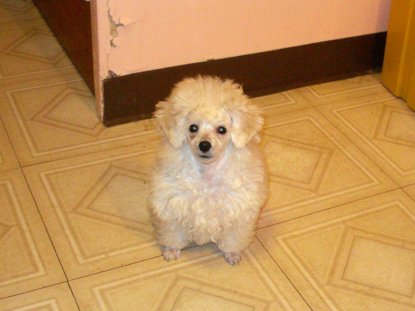 Toy Poodle Haircuts Photos photo - 3