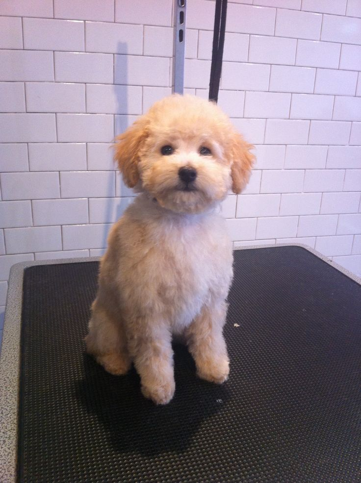 Toy Poodle Puppy Haircuts photo - 1