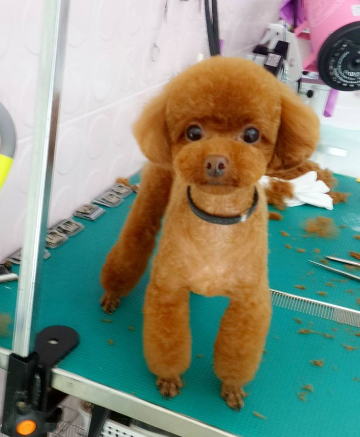 Toy Poodle Puppy Haircuts photo - 3
