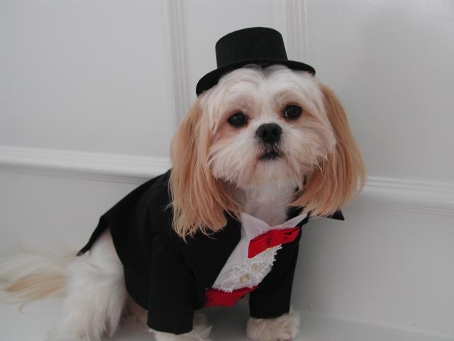 Tuxedo Dog photo - 3